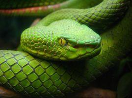 Green snake Care_SMC
